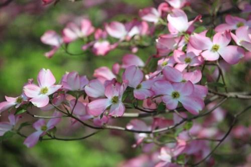 Pink dogwoods -- Spring 2015