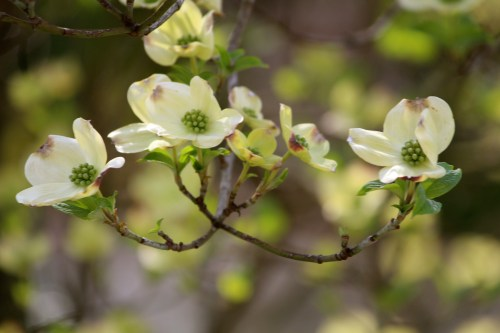 Branch of dogwoods 2015
