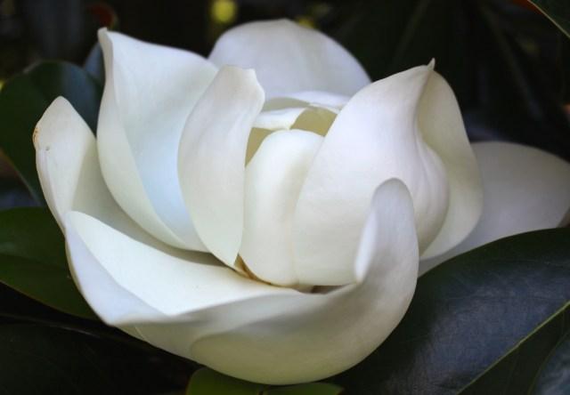Magnolia grandiflora -- June 4, 2015