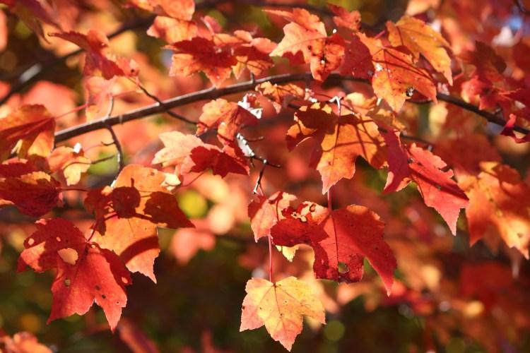 Pipestem Resort fall leaves, West Virginia