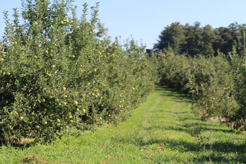 Walking through apple orchards at Lyda Farms