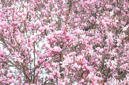 A density of blossoms: Tulip Poplar tree in spring