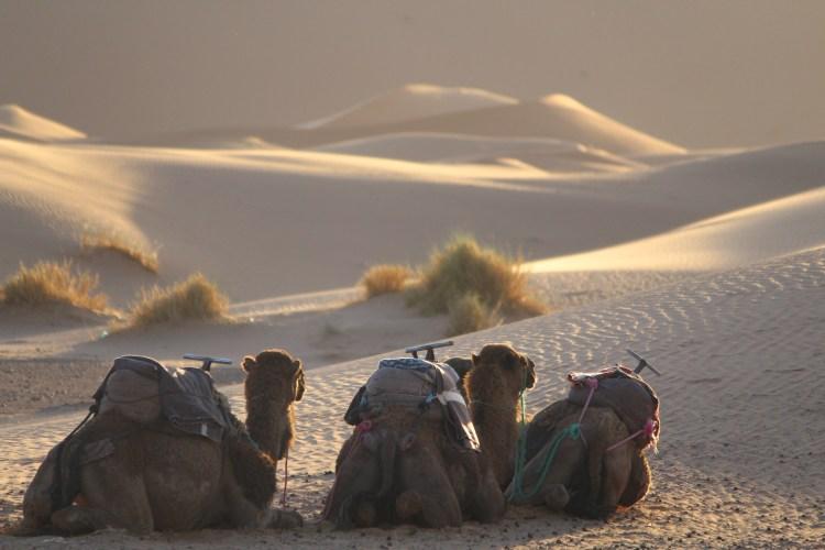 Camels await the sundown tour through the desert.