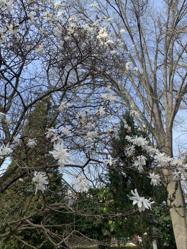 White Star White Magnolia tree