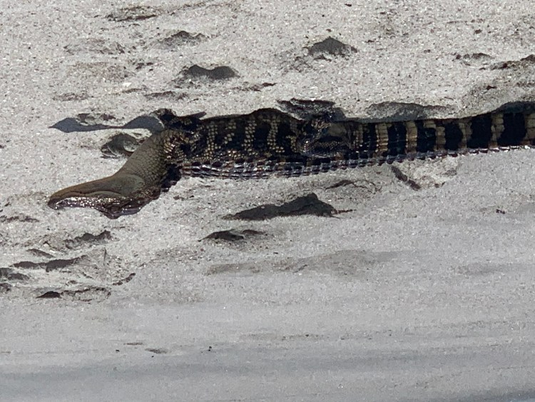 Alligater on Pawleys Island, South End