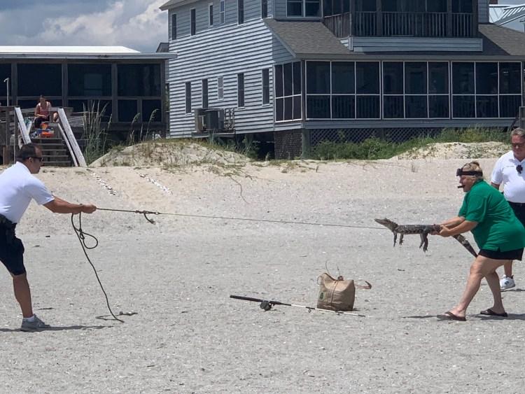 Getting alligator to safety on Pawleys Island SC