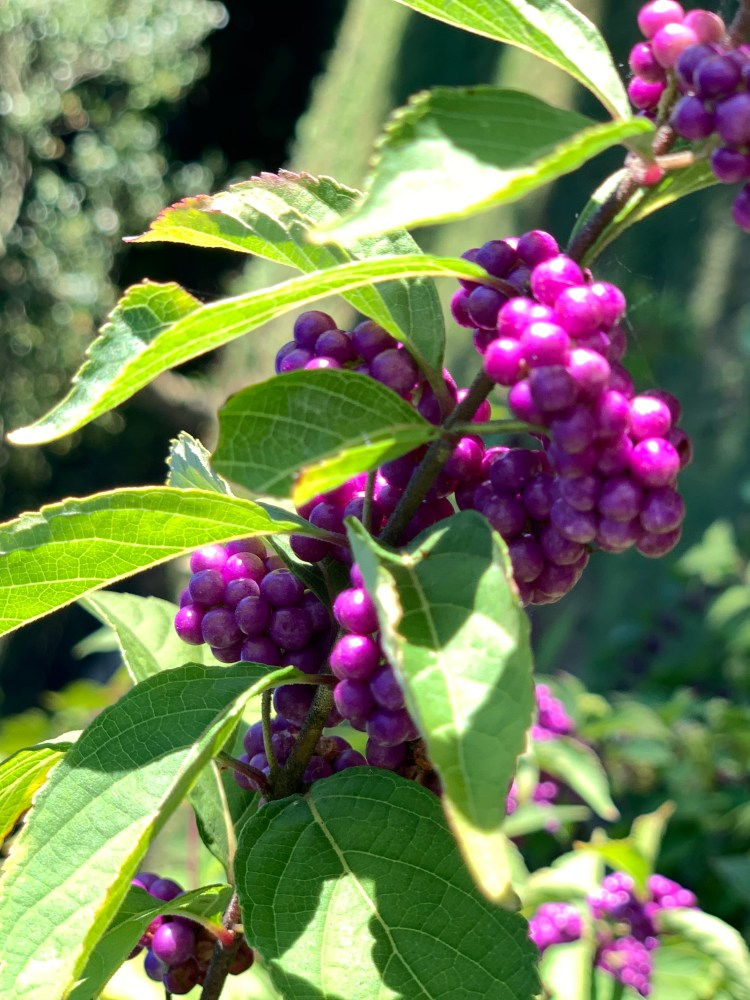 Purple berries, UT Gardens