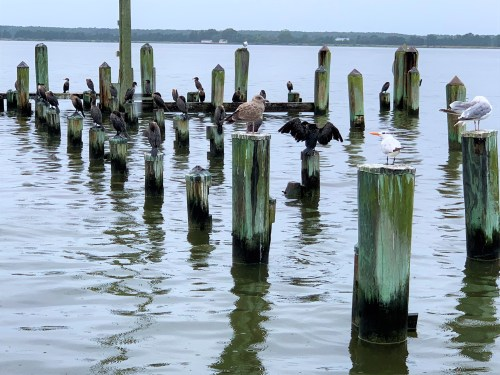 Birds hanging out at Doc's Sunset Grille, Oxford MD