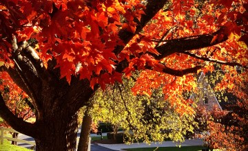 Red leaves in Plantation Springs, Knoxville TN