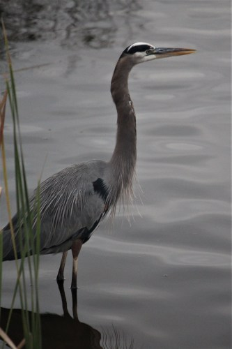 Standing gray heron at Huntington Beach State Park, SC