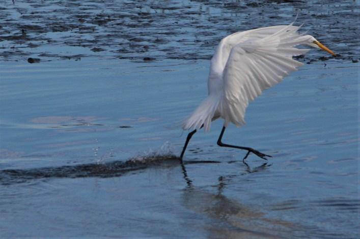 White heron landing, Huntington Beach State park, SC
