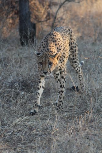 Cheetah, moving cautiously at Thornybush Game Reserve, S. Africa