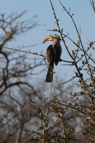 Southern yellow-billed hornbill, Thornybush Game Reserve, S. Africa
