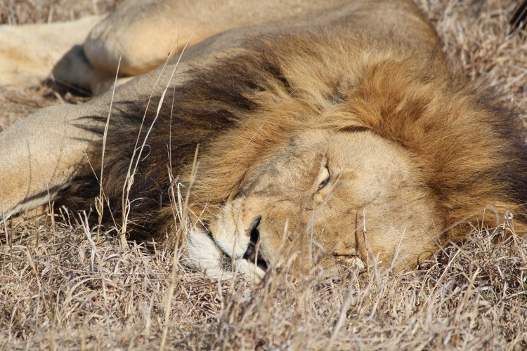 Sleeping lion, Thornybush Game Reserve, S. Africa
