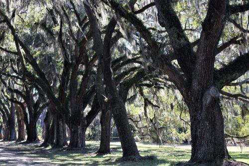 Live oaks, Wormsloe Historic Site, GA