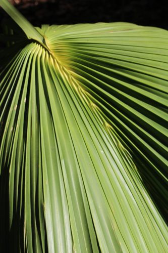 Sabal Palmetto frond, Wormsloe Historic Site