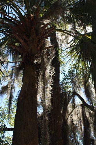 Sabal Palmetto tree, Wormsloe Historic Site, GA