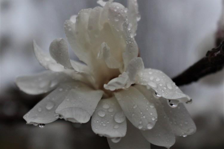 White Star Magnolia in Rain