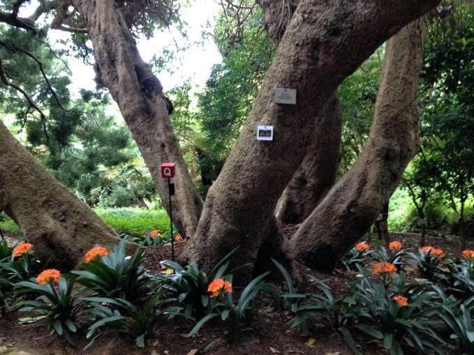 Huge trees in Kirstenbosch Botanical Gardens, Cape Town, S. Africa