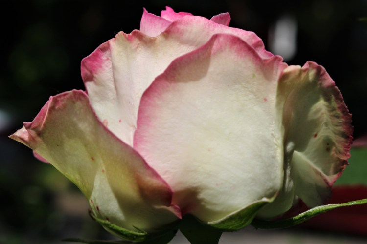 Pink-edged white rose, Knoxville, TN