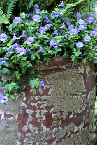 Blue flowers, green ferns in an old pot