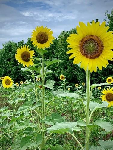 Sunflower field, Knoxville, TN