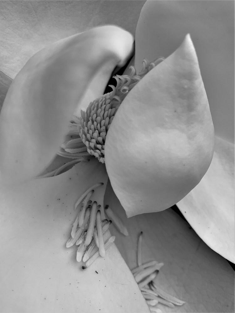 Southern magnolia losing carpels