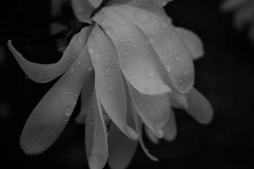 Raindrops on White Star White Magnolia