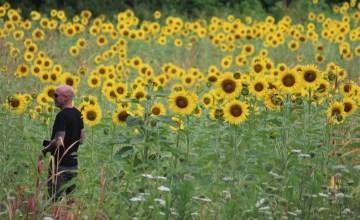 Man in field of sunflowers