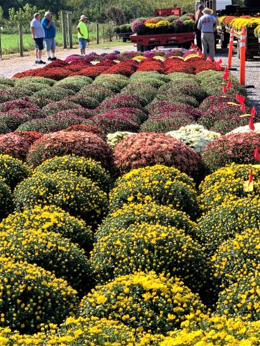 Rows of mums waiting to be auctioned, Crab Orchard, Kentucky
