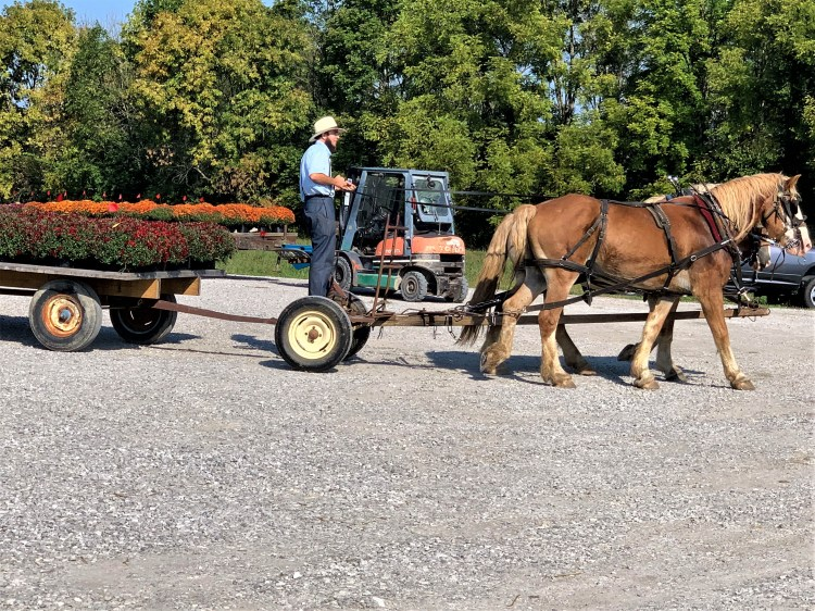 Driving mums to market, Crab Orchard, Kentucky
