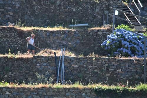 Terrace gardening in Manarola, Cinque Terre, Italy