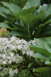 Hostas and perennials -- Suzie Hall's garden