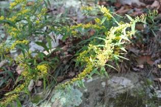 Still in bloom -- Fall 2015. Cumberland Gap, TN
