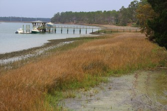 New green spartina grass at the base of last year's crop: Daufuskie Island, South Carolina