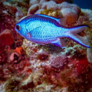 Blue Chromis with Aquanauts Dive Adventures