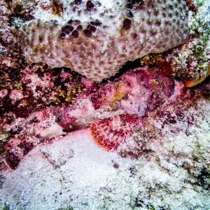 Scorpion Fish with Aquanauts Dive Adventures