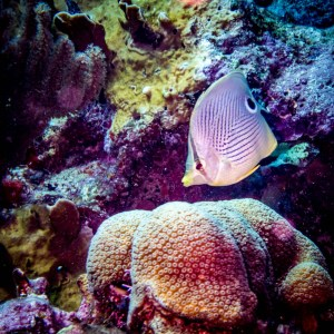 Butterfly Fish with Aquanauts Dive Adventures