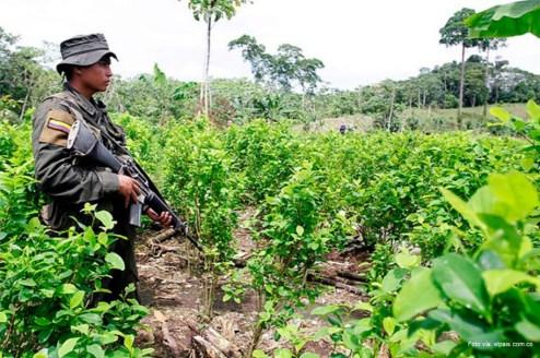 cultivos de coca