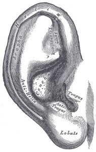 Ear from Gray's Anatomy (1918)