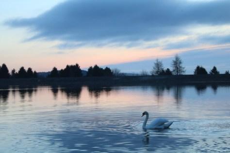 Swan at Clatto Reservoir