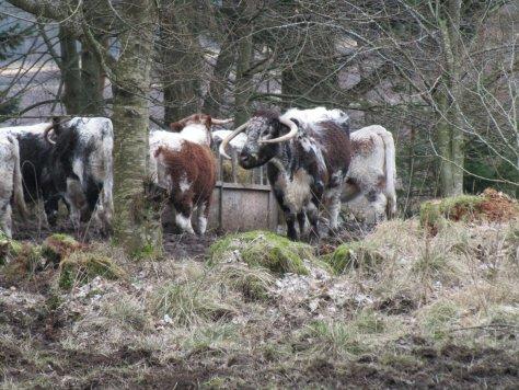 English Longhorns
