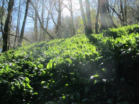 Wild garlic in Aldouran glen
