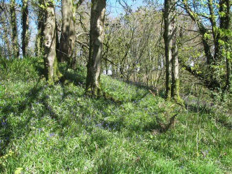 Bluebells in Aldouran glen