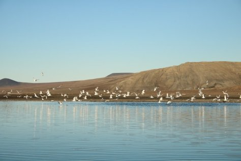 Kittiwakes on Saltwater Lake Kmo, Wrangel Island