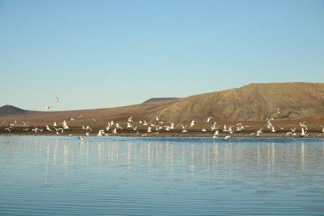 Kittiwakes on Saltwater Lake Kmo, Wrangel Island