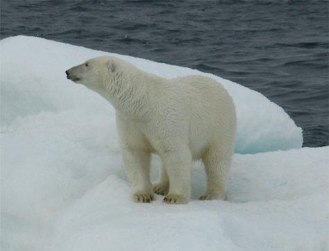 Polar Bear 8