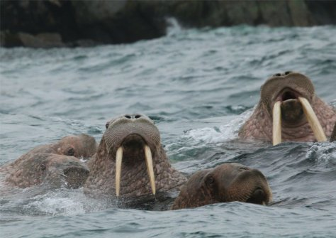 Walrus in the water, Kolyuchin Island