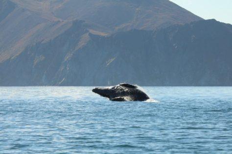 Grey whale breaching at Itygran Island (2)