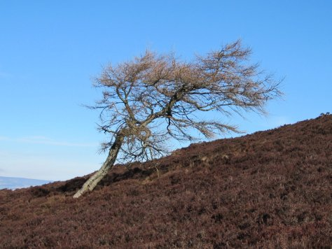 Lone tree on Ironside Hill